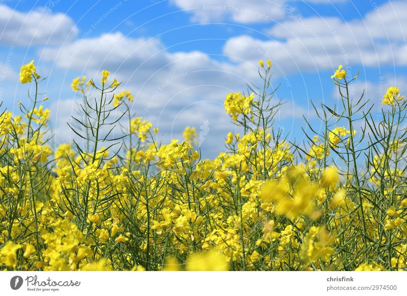Rapsfeld in front of a blue sky Environment Nature Plant Blossom Blossoming Illuminate Blue Yellow Canola Colour photo Exterior shot Deserted Day Light Blur