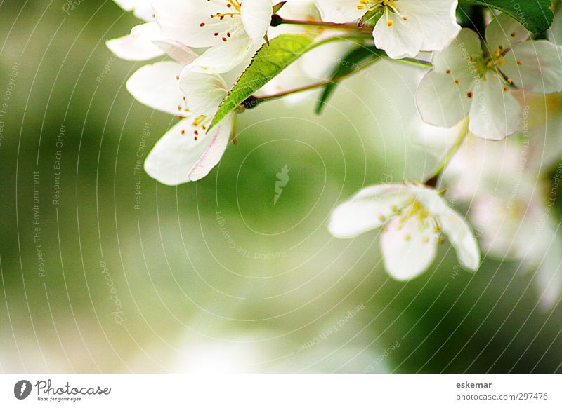 Nature Green Beautiful White Plant Tree Spring Blossom Bright Natural Authentic Beautiful weather Fresh Beginning Esthetic Simple