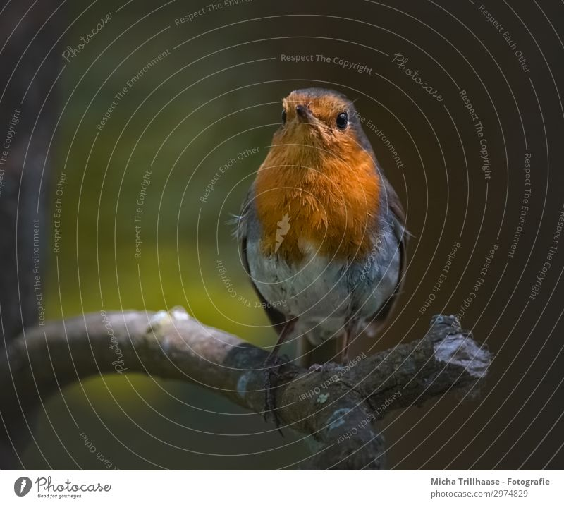 Robin in the evening light Nature Animal Sunlight Beautiful weather Tree Twigs and branches Wild animal Bird Animal face Wing Claw Robin redbreast Feather