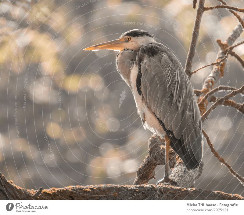 Heron in a sunny tree Nature Animal Sky Sun Sunlight Beautiful weather Tree Twigs and branches Wild animal Bird Animal face Claw Grey heron Beak Eyes Feather