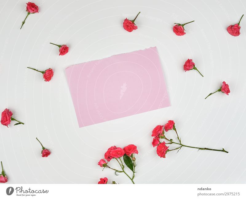 empty pink sheet of paper and buds of pink rose Nature Summer Plant Beautiful White Flower Leaf Blossom Natural Small Pink Design Decoration Fresh Vantage point