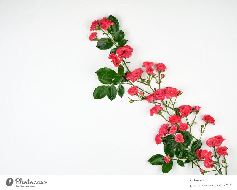blooming buds of pink roses and green leaves Nature Summer Plant Beautiful White Flower Blossom Natural Feasts & Celebrations Small Pink Design Decoration Fresh