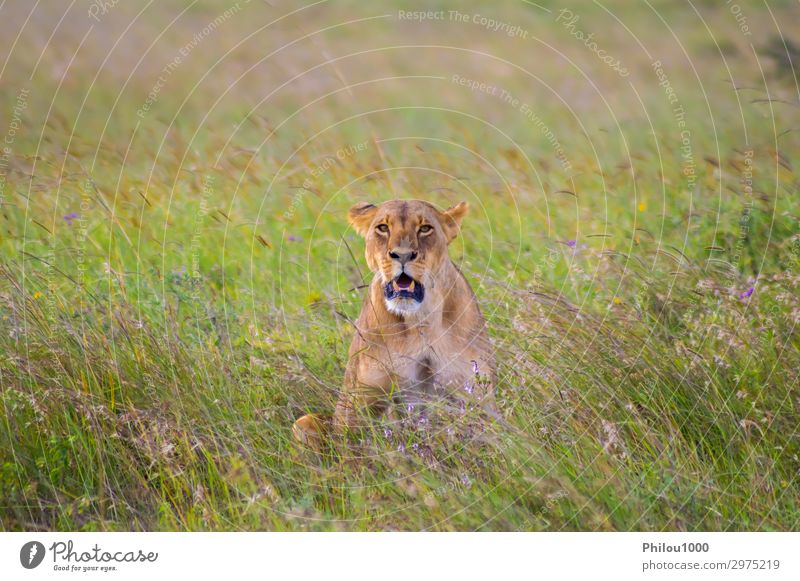 Lioness sitting in the savannah Face Vacation & Travel Woman Adults Nature Animal Park Cat Natural Wild Yellow Dangerous Africa african background Carnivore
