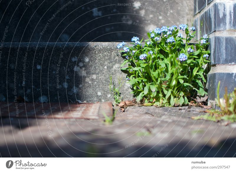 Forget-me-not (Myosotis) House (Residential Structure) Garden Gardening Nature Plant Beautiful weather Flower Wall (barrier) Wall (building) Stairs Blue Gray