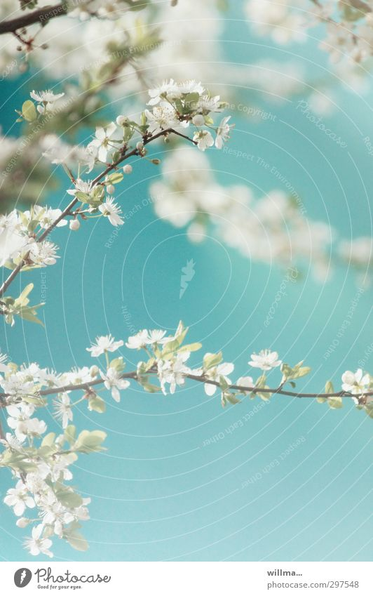 Nature Blue White Plant Tree Spring Blossom Beautiful weather Turquoise Cherry tree Ornamental cherry