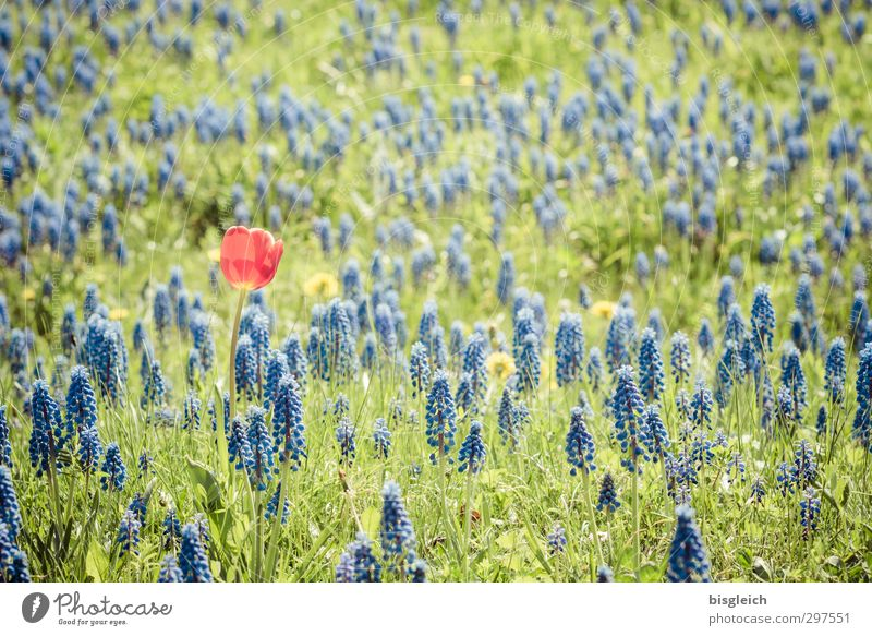 Blue Green Plant Red Loneliness Flower Meadow Uniqueness Joie de vivre (Vitality) Tulip Hyacinthus