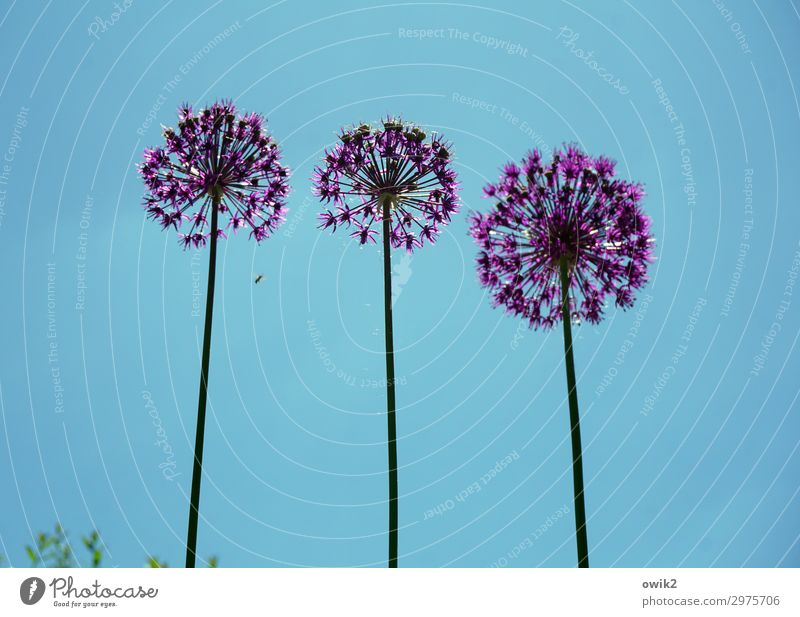 The three from the gas station Environment Nature Plant Cloudless sky Spring Beautiful weather Flower Blossom Exotic Stalk Stand Growth Together Tall Round