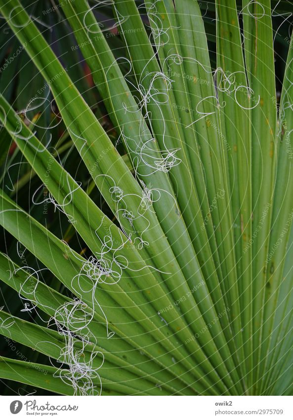Cast off Nature Plant Leaf Washington Palm Palm frond Thread Green Ecological Houseplant Exotic Colour photo Exterior shot Detail Structures and shapes Deserted