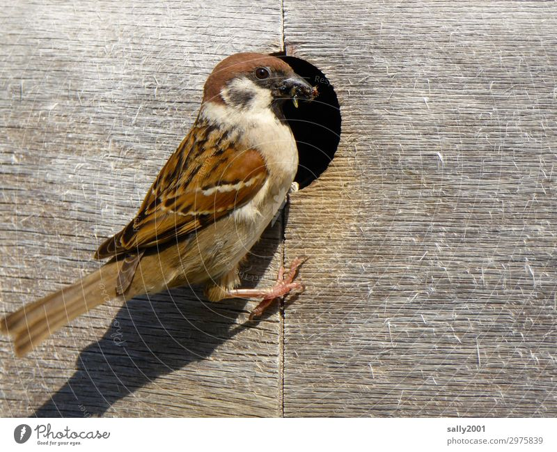 Tree sparrow looks after its young... birds Animal Wild animal Sparrow Nesting box Parental care Feed Feeding wood rearing insects Hollow Considerate Brown