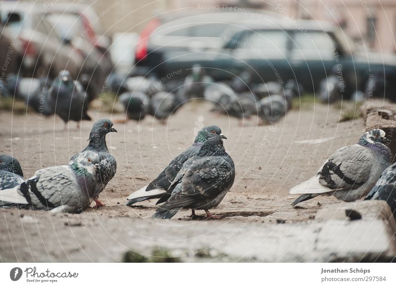 Gathering of the pigeons Animal Bird Pigeon Animal face Group of animals Flock Gray Observe Car Parking lot Town St. Petersburgh Russia Winter Cold Assembly