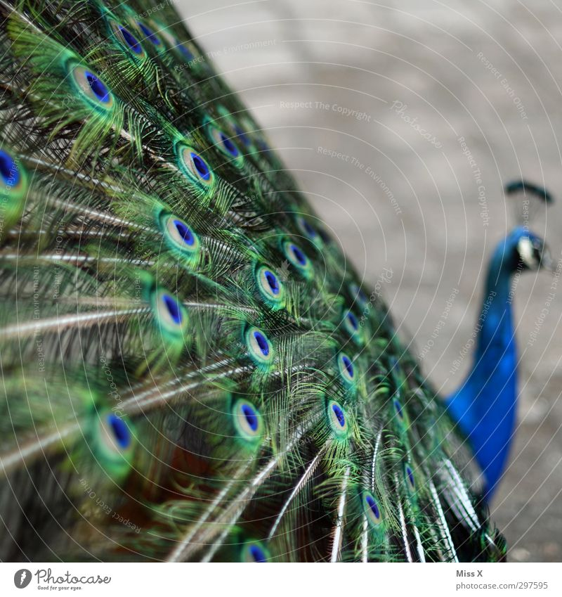 peacock Animal Bird Wing 1 Arrogant Pride Conceited Peacock Peacock feather Feather Colour photo Deserted Copy Space right Copy Space top Shallow depth of field