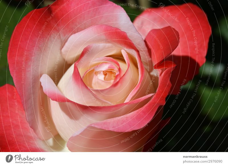 rose blossom Plant Flower Rose Blossom Illuminate Fragrance Beautiful Natural Pink Red Love Infatuation Loyalty Romance Rose blossom Blossoming Blossom leave