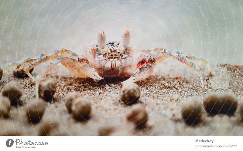 crab party Environment Nature Landscape Plant Animal Sand Summer Beach Ocean Atlantic Ocean Wild animal Shrimp Cancer Shellfish 1 Exotic Free Near Maritime