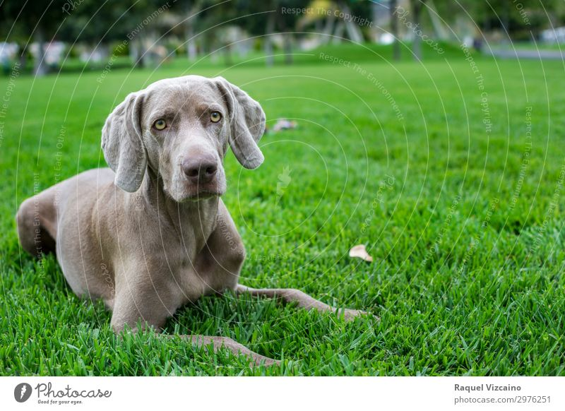 Portrait of weimaraner Landscape Plant Grass Park Field Animal Pet Dog 1 Looking Illuminate Natural Gray Green Calm Self Control Elegant Life Wellness