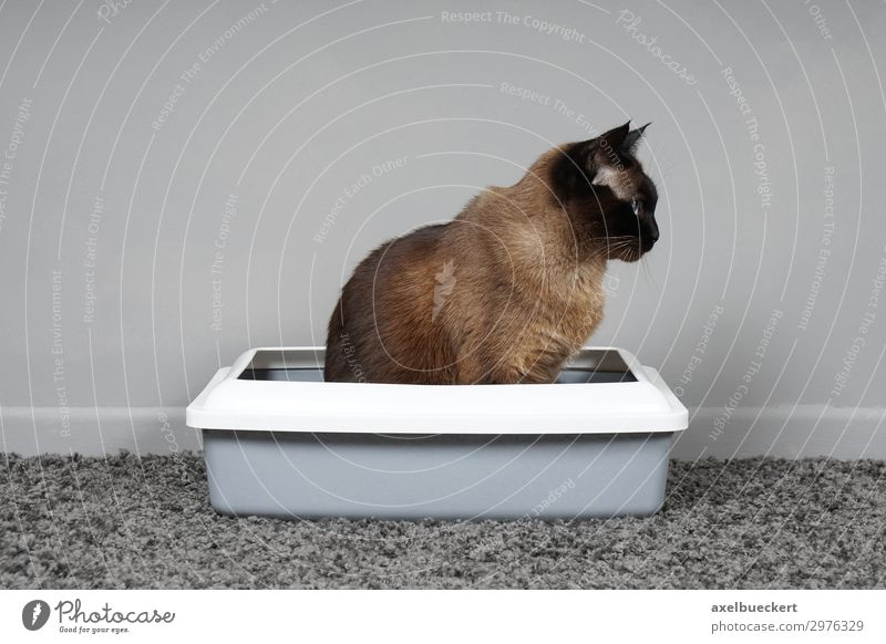 house-trained cat sits in cat litter box Animal Pet Cat 1 Sit Toilet Litter box Siamese cat housebroken Urinate Defecate Carpet Room Cleanliness Colour photo