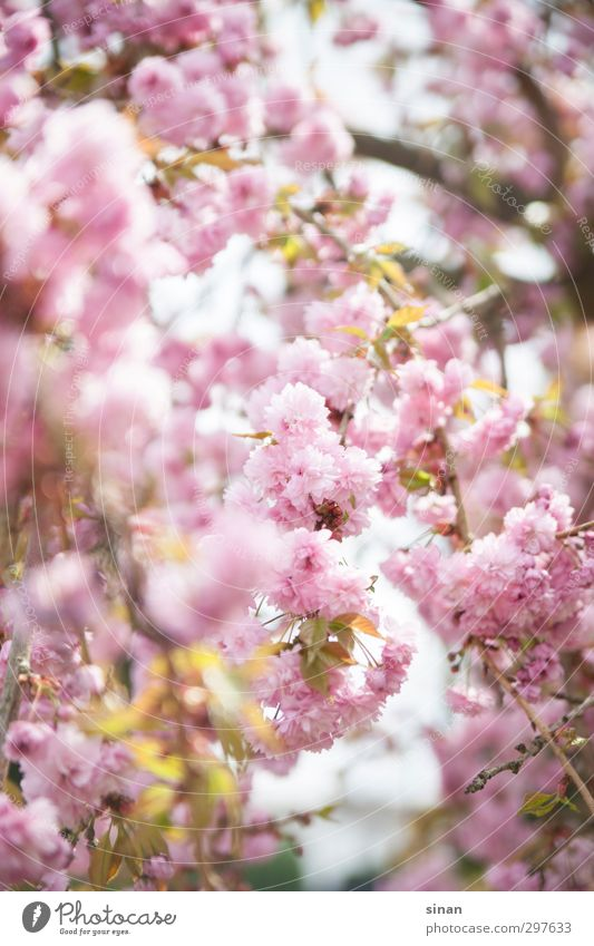 Nature Beautiful Summer Plant Tree Landscape Environment Spring Blossom Style Garden Bright Park Pink Elegant Happiness