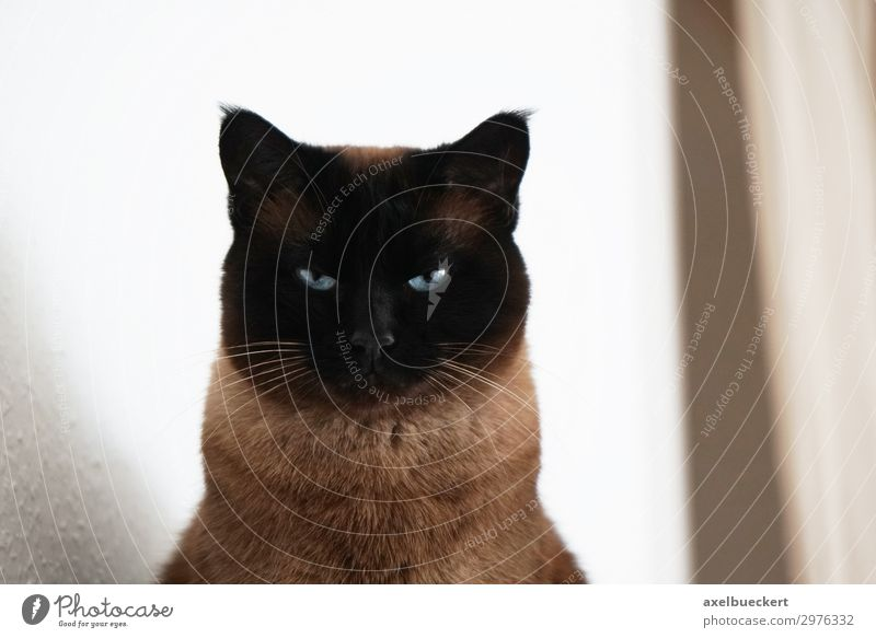 Cat observed Animal Pet 1 Observe Siamese cat Threat Looking Colour photo Subdued colour Interior shot Deserted Copy Space right Day Shallow depth of field