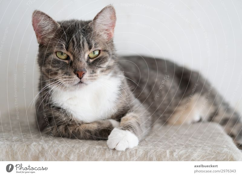 Cat looks grumpy Animal Pet 1 Cool (slang) Gray Tiger skin pattern Domestic cat Unfriendly Lie Looking Colour photo Subdued colour Interior shot Close-up
