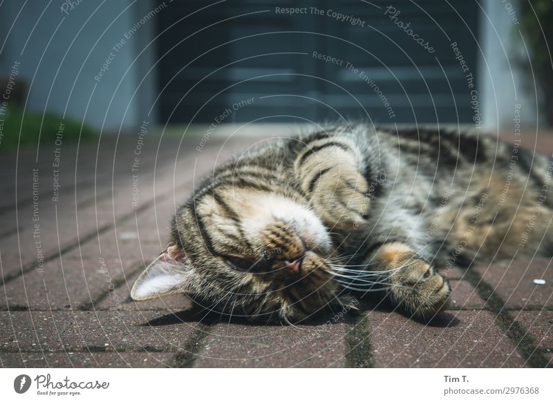 the tomcat Animal Pet Cat Animal face Pelt Paw 1 Wellness Living or residing Contentment Domestic cat Courtyard Colour photo Exterior shot Detail Deserted Day
