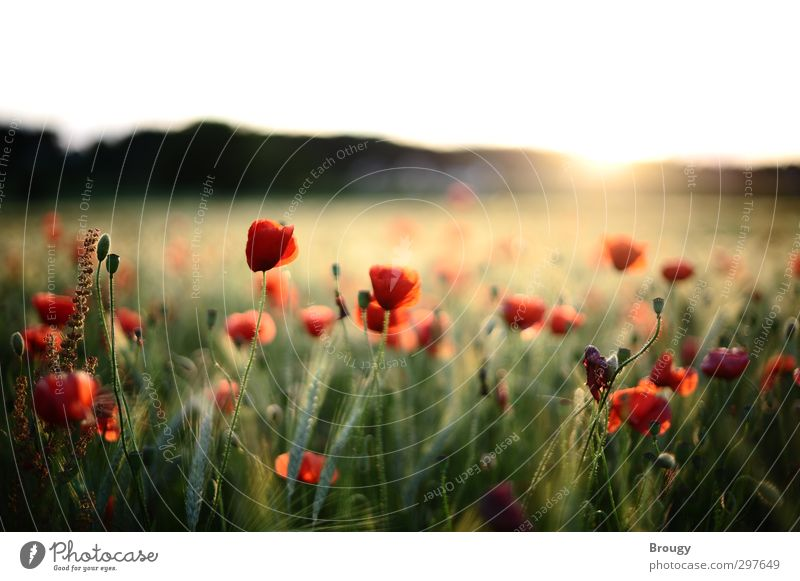 Poppies at sunset Landscape Plant Sunrise Sunset Sunlight Summer Blossom Foliage plant Agricultural crop Wild plant Garden Meadow Field Warmth Happy