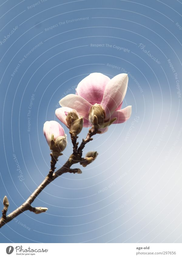 out of the dark and into the blue Environment Nature Plant Spring Beautiful weather Tree Blossom Magnolia tree Garden Elegant Fresh Blue Green Pink White Happy