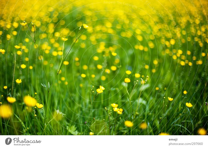 Nature Green Plant Flower Landscape Environment Yellow Meadow Grass Spring Natural Foliage plant Marsh marigold
