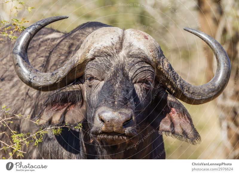 Wildlife Buffalo Animal Head Horns Wild animal Animal face 1 Observe Hunting Looking Aggression Threat Near Brown Gray Black Power Might Adventure Aggravation