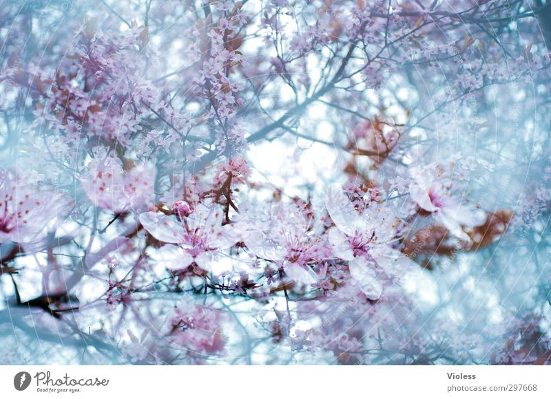 Nature Plant Tree Spring Blossom Blossoming Double exposure Ornamental cherry