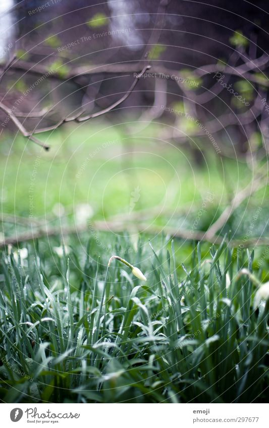BOGA Environment Nature Plant Drops of water Flower Grass Foliage plant Natural Green Narcissus Bud Colour photo Exterior shot Close-up Deserted Day