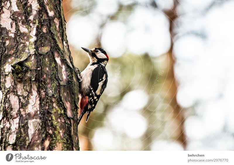 knock knock Spotted woodpecker Love of animals Colour photo Exterior shot Light Wild animal Tree trunk feathers pretty Animal portrait Beak Nature