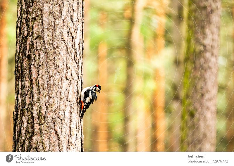Like a woodpecker in the woods Nature Tree Tree trunk Forest Wild animal Bird Animal face Wing Woodpecker Spotted woodpecker Feather 1 Exceptional Fantastic