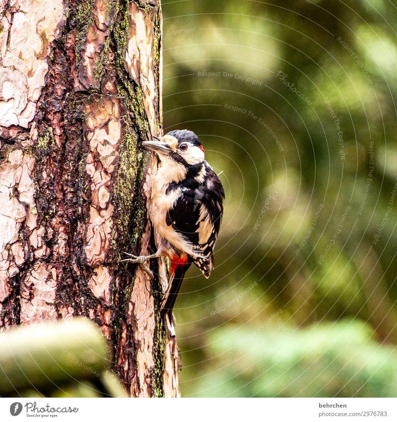 noise | woodpecker knocking Bird Woodpecker Forest Tree Tree trunk feathers Beak Nature Flying To feed Animal Wild animal pretty Animal portrait
