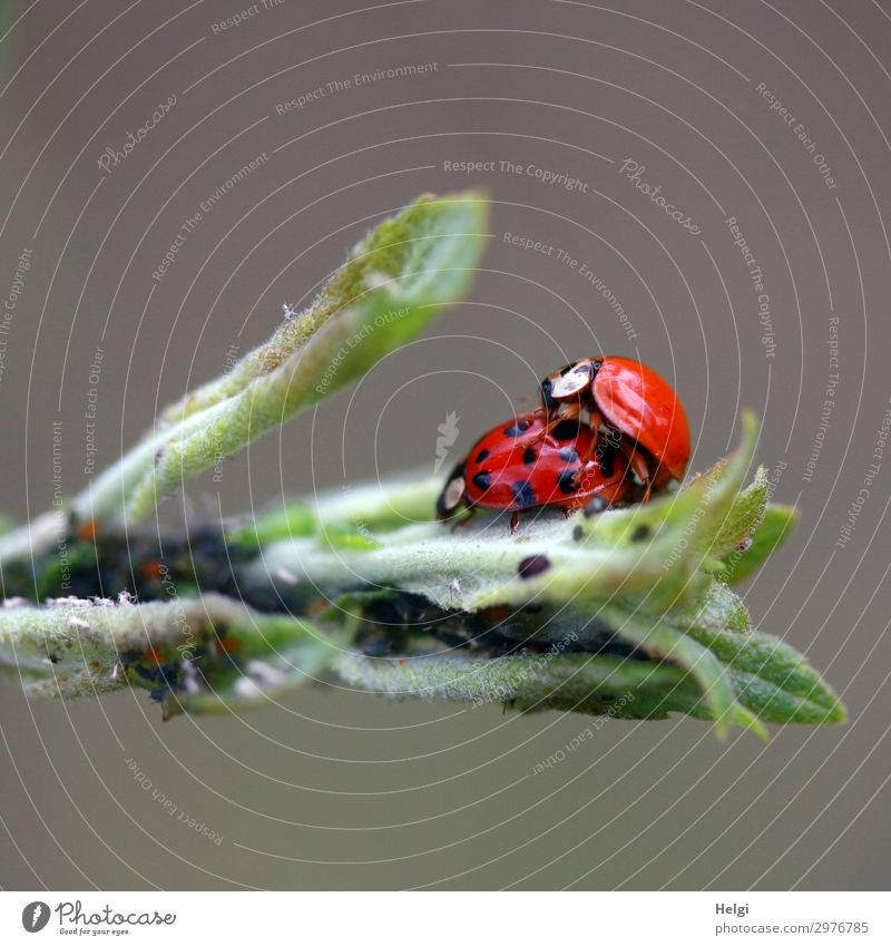 two ladybirds mating on green leaves Environment Nature Plant Animal Leaf Beetle Ladybird 2 Pair of animals Sex Authentic Exceptional Together Small Natural