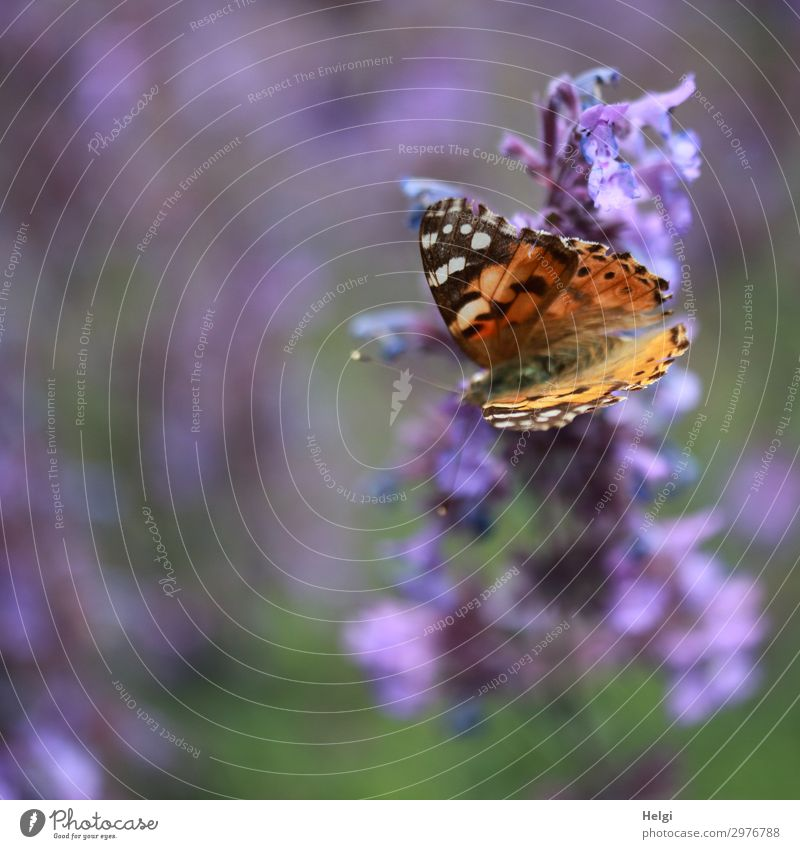 Thistle butterfly sitting on a purple bust Environment Nature Plant Animal Summer Beautiful weather Flower Blossom Garden Butterfly Painted lady 1 Blossoming