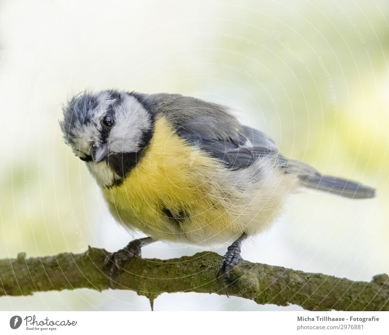 Curious-looking blue tit Nature Animal Sunlight Beautiful weather Tree Twigs and branches Wild animal Bird Animal face Wing Claw Tit mouse Head Beak Eyes