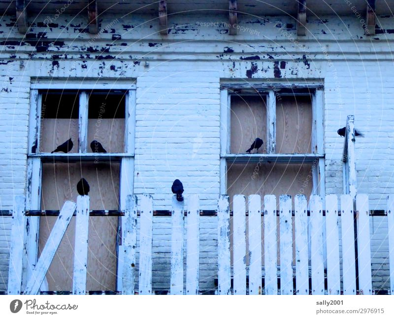 squatter House (Residential Structure) Ruin Facade Window Animal Wild animal Bird Raven birds Group of animals Crouch Sit Living or residing Old Dark Creepy