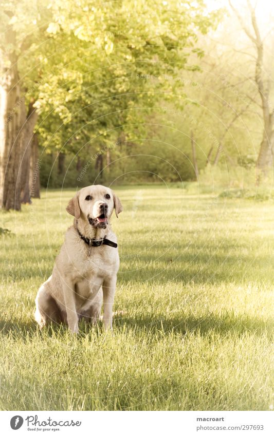 summer Labrador Dog Blonde Animal Pet Seasons Summer Spring Meadow Tree Nature Beautiful Sweet Purebred dog Chestnut tree Wait Green