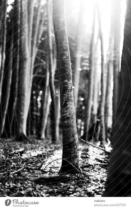 Fairytale forest i Environment Nature Plant Sun Sunrise Sunset Sunlight Spring Autumn Beautiful weather Tree Forest Illuminate Emotions Joie de vivre (Vitality)
