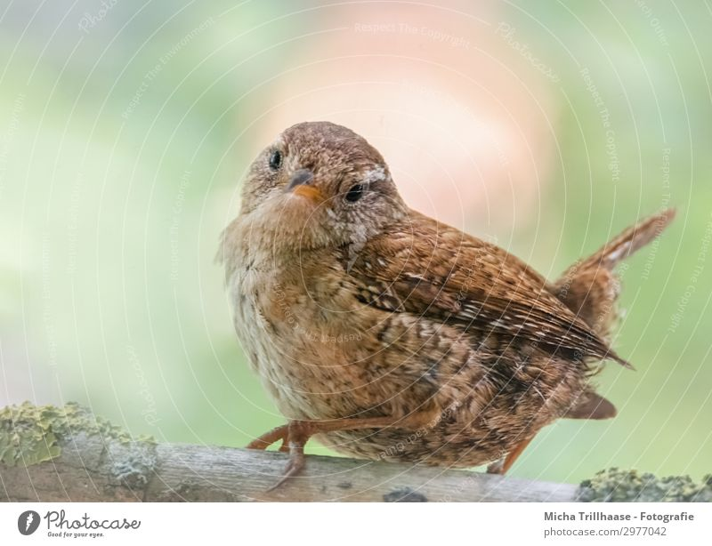 Wren looks around Nature Animal Sunlight Beautiful weather Tree Twigs and branches Wild animal Bird Animal face Wing Claw wren Head Beak Eyes Feather Plumed 1