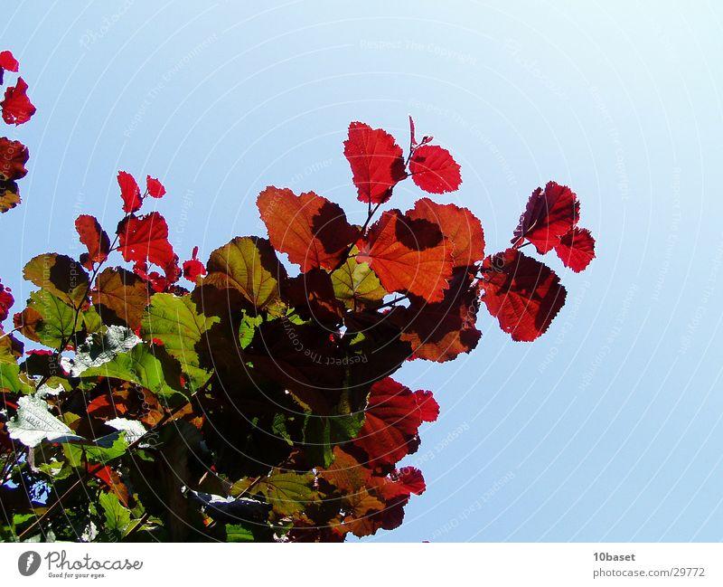 traffic light shrub Hazelnut Bushes Plant Colouring hazel bush Nature leaf colouring hazel tree Beautiful weather
