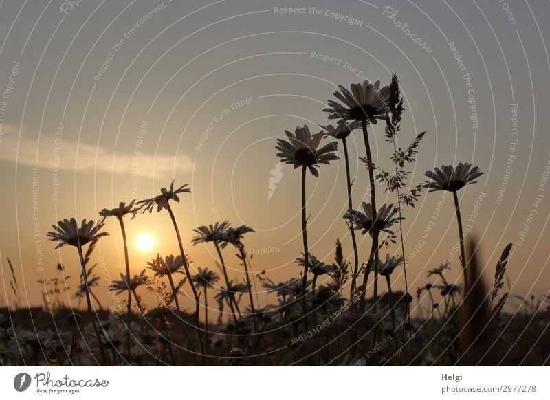 Margarite blossoms on a flower meadow against the light of the evening sun Environment Nature Landscape Plant Earth Summer Beautiful weather Flower Grass Leaf