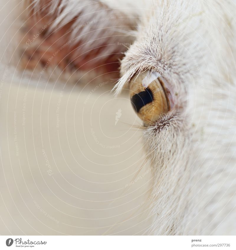 instant Animal Farm animal Brown White Goats Eyes Looking Looking into the camera Colour photo Exterior shot Close-up Detail Day Central perspective