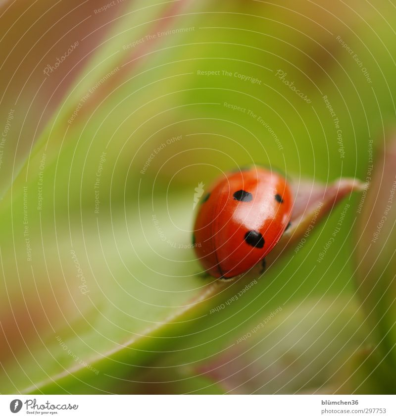 coccinella Animal Farm animal Beetle Wing Ladybird Crawl Walking Sit Small Natural Round Green Red Black Happy Sympathy Good luck charm Symbols and metaphors