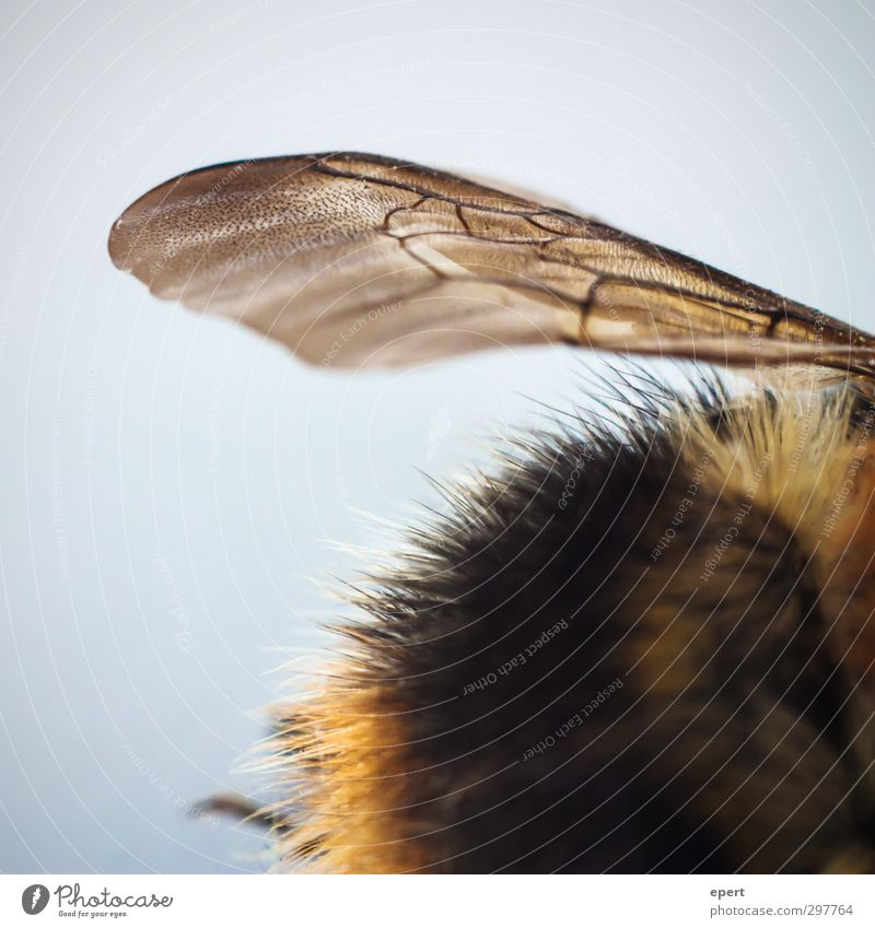 Animal Esthetic Broken Wing Transience Pelt Insect Bee Bumble bee Fascinating Dead animal