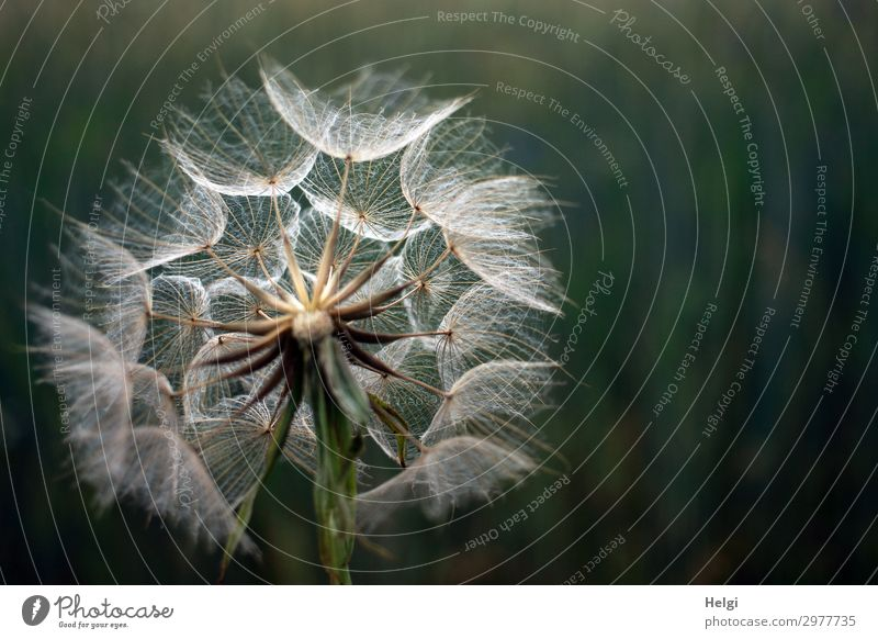 Giant dandelion, fruit of the meadow goatbeard against a dark background Environment Nature Plant Summer Flower Wild plant Dandelion giant dandelion