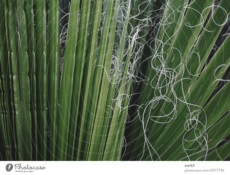 palm fronds Leaf Palm tree Thread Large Green Colour photo Exterior shot Detail Abstract Pattern Structures and shapes Deserted Copy Space left Copy Space top