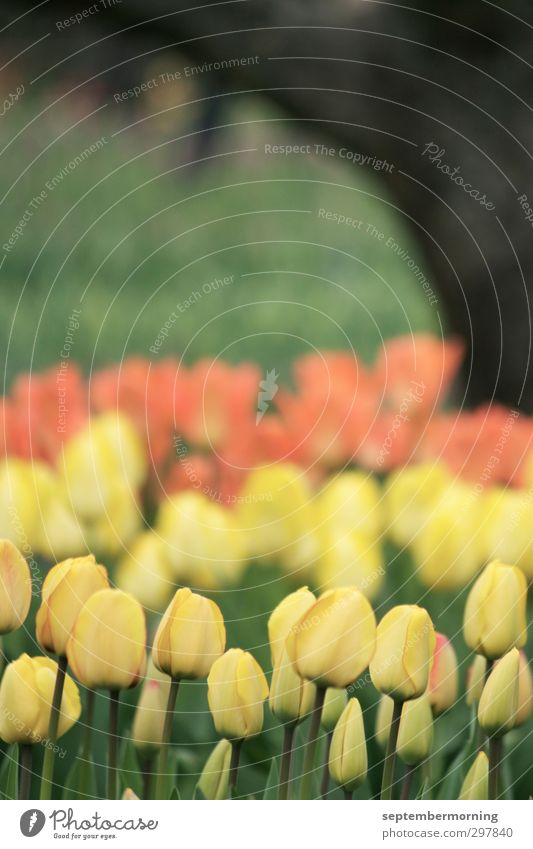 tulips Spring Tulip Yellow Orange Black Calm Subdued colour Multicoloured Exterior shot Deserted Day Blur
