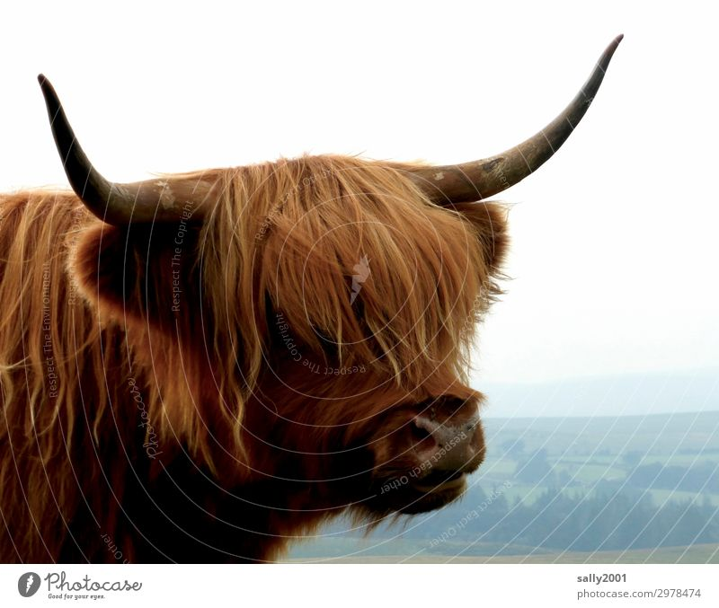 Where's the hairdresser, please? Animal Farm animal Cow Pelt Highland cattle Antlers 1 Observe Authentic Friendliness Hip & trendy Curiosity Brown Bangs