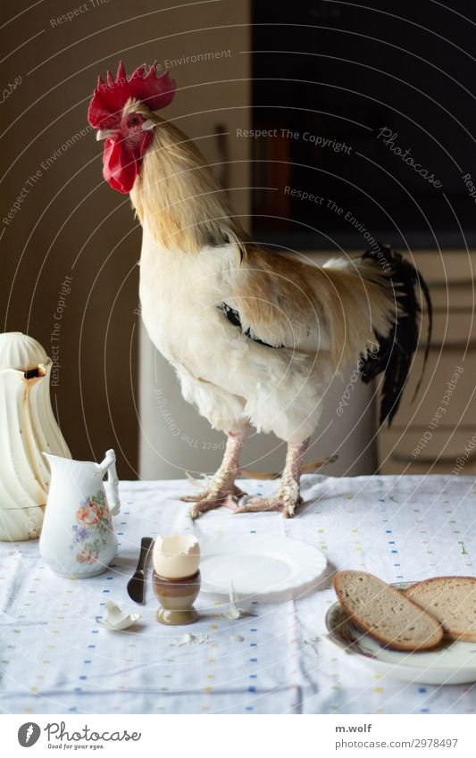 breakfast egg Food Bread Egg Rooster Nutrition Breakfast Organic produce Crockery Healthy Eating Living or residing Kitchen Animal Pet Farm animal Brave