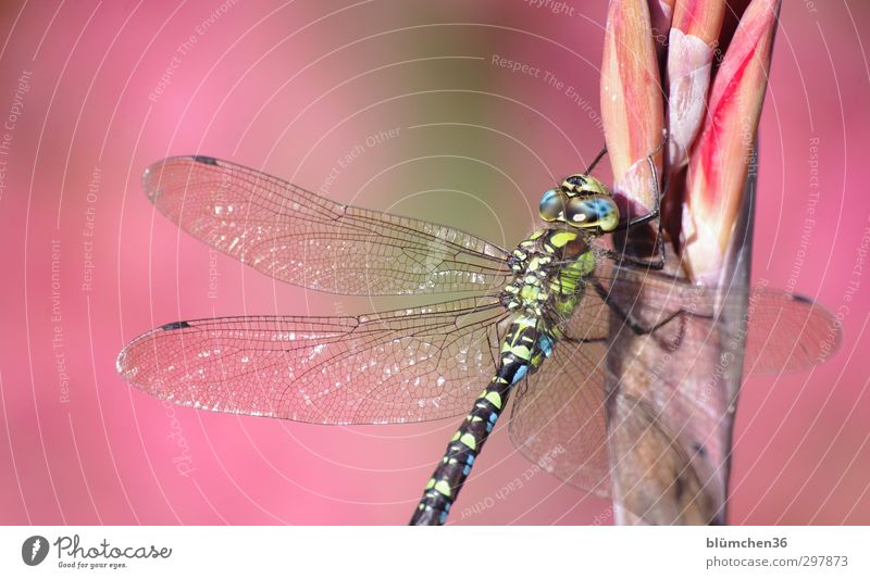Blue Green Animal Wild animal Sit Elegant Large Esthetic Wing Thin Delicate Insect Exotic Delicate Glimmer Dragonfly